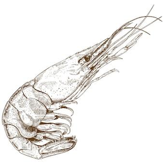 Gravure dessin de crevette