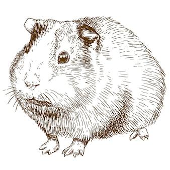 Gravure dessin illustration de cochon d'inde