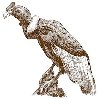 Gravure dessin illustration du grand condor andin