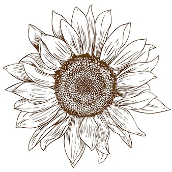 Gravure dessin illustration de gros tournesol