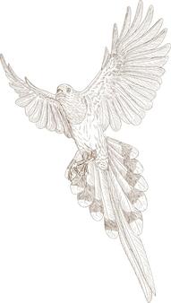 Gravure dessin illustration de pie longue queue