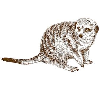 Gravure dessin illustration de suricate