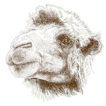 Gravure dessin illustration de tête de chameau