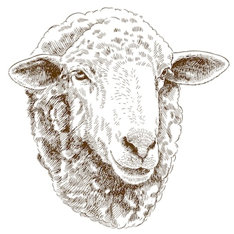 Gravure dessin illustration de tête de mouton