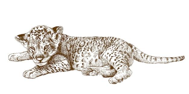 Gravure illustration antique de lionceau
