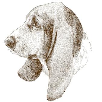 Gravure illustration antique de tête de basset hound