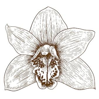 Gravure illustration d'orchidée flover