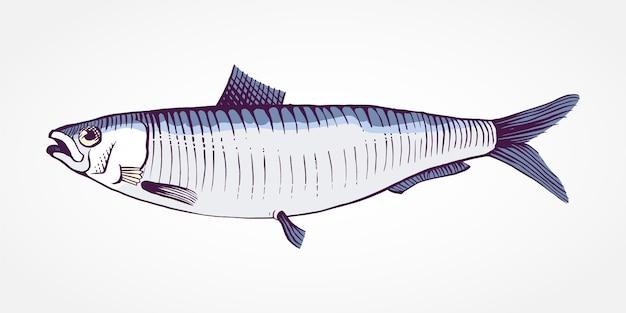 Gravure illustration de sardine dessinée à la main