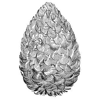Gravure d'illustrations vintage en cône de pin