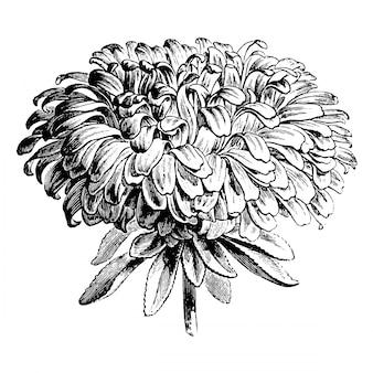 Gravure d'illustrations vintage de fleur d'aster