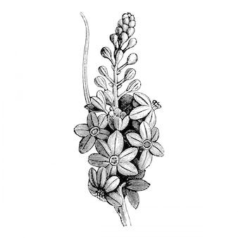 Gravure inflorescence de fleurs de varatrum nigrum illustrations vintages