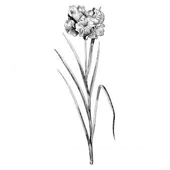 Gravure iris laevigata flore pleno fleurs illustrations vintage