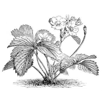 Gravure de pin fleurs de fraises illustrations vintage