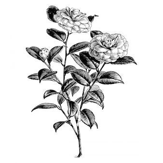 Gravure vintage illustrations fleur camélia japonica