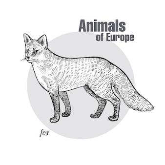 Gravure vintage de renard animalier.