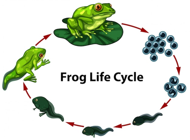 Grenouille cycle de vie digram