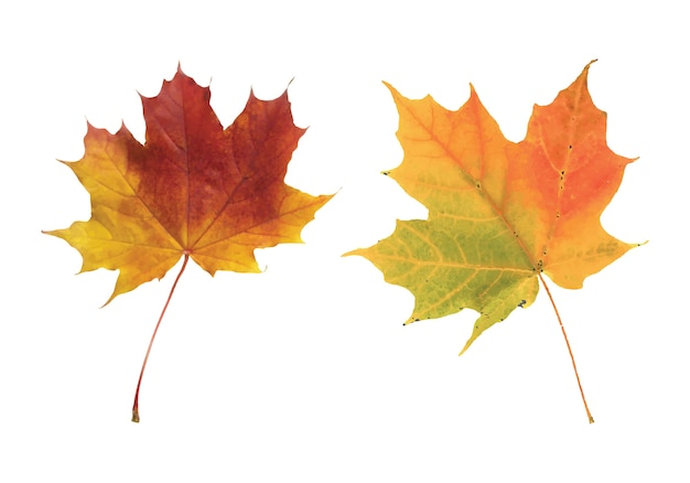 Gros plan, de, feuille érable automne, sur, blanc