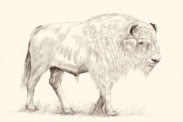 Un gros vieux bison se tient sur ses pieds dans l'herbe. croquis de dessin à la main au crayon sur beige