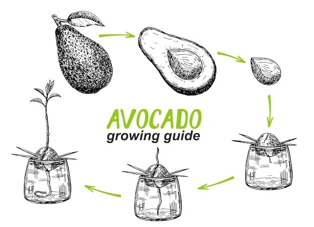 Guide de culture de l'avocatier. comment faire pousser un avocat à partir de graines.