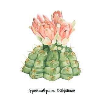 Gymnocalycium baldianum cactus dessinés à la main