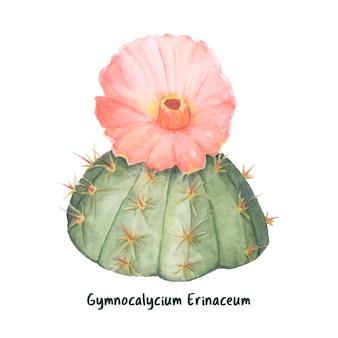 Gymnocalycium, main, dessiné, erinaceum, chin, cactus