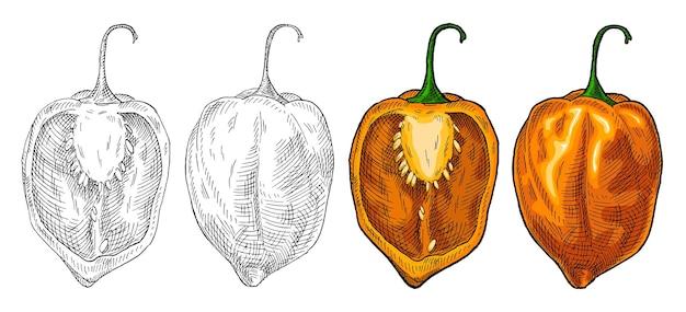 Habanero au poivre entier et demi. illustration de couleur de vecteur d'éclosion vintage. isolé sur fond blanc. conception dessinée à la main