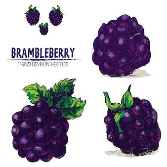 Hand draw brambleberry sur fond blanc