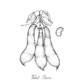 Hand drawn de gousses de haricot de velours