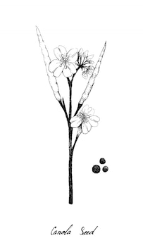 Hand drawn of canola pod and seed