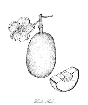 Hand drawn of winter melon plants with fruit