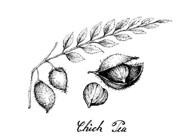 Hand drawn de pois chiche