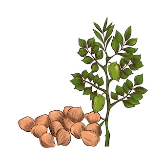 Haricots de pois chiches dessinés à la main et illustration de la plante