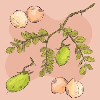 Haricots de pois chiches dessinés à la main avec illustration de la plante