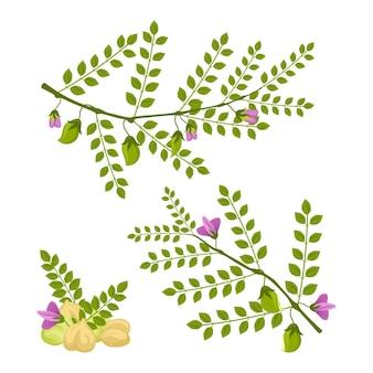 Haricots de pois chiches dessinés avec plante
