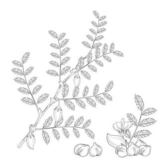 Haricots de pois chiches réalistes avec plante