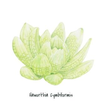 Haworthia cymbiformis succulente dessinés à la main
