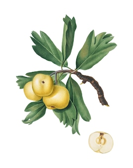 Hawthorn from pomona italiana illustration