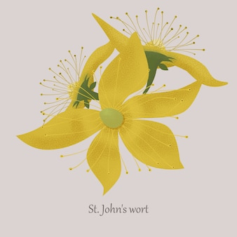 Herbe de millepertuis en fleurs à fleurs jaunes.