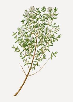 Herbe de thym de jardin
