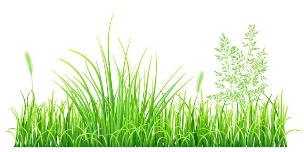 Herbe verte et épillets sur fond blanc
