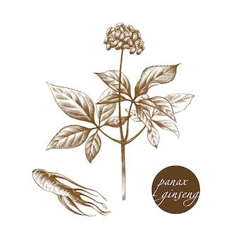 Herbes médicales - panax ginseng.