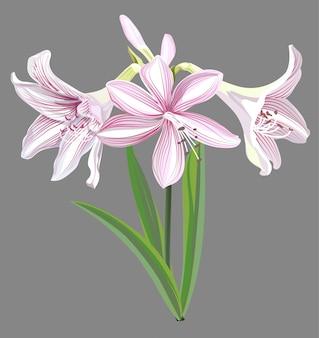 Hippeastrum flower illustration isolée
