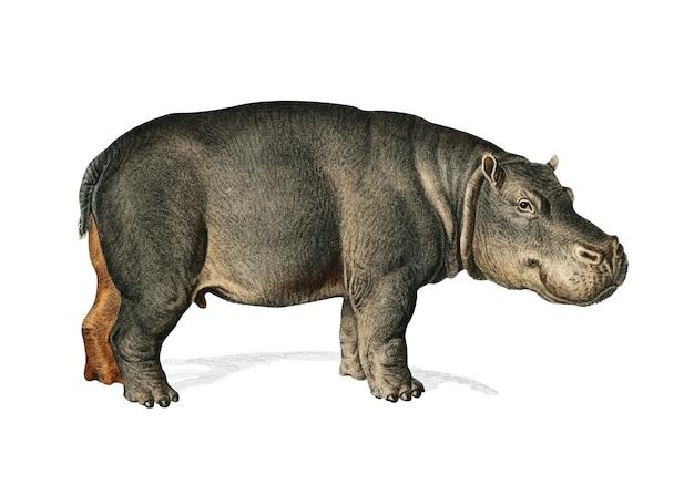 Hippopotame (hippopotame amphibie)