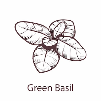 Icône de basilic. croquis botanique dessiné à la main pour les étiquettes et les emballages menu restaurant ou café dans le style de gravure, symbole de cuisine, élément isolé de vecteur