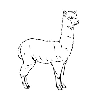 Icône de contour d'alpaga. mammifère lama pour zoo. animal alpaga isolé, illustration.