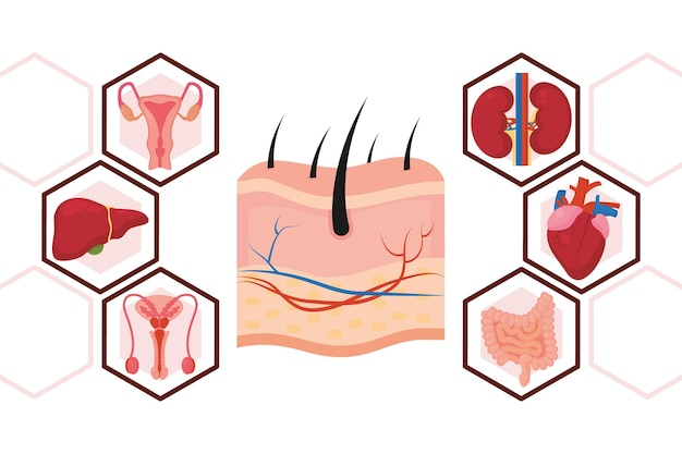 Icône illustration dessin animé organes humains