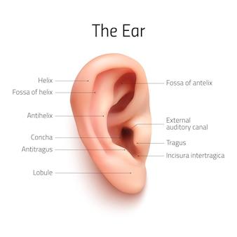 Icône d'oreille infographique réaliste, isolé
