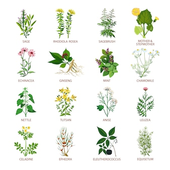 Icônes d'herbes médicinales plates