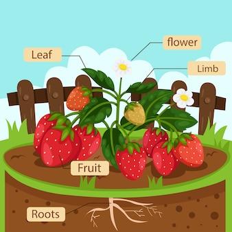 Illustrateur de parties de fraise
