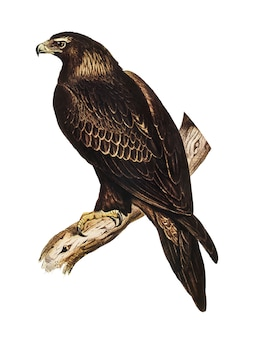 Illustration de l'aigle